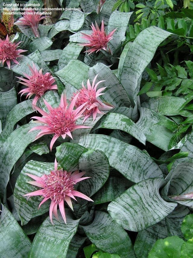 Aechmea bromeliad (palmbob)