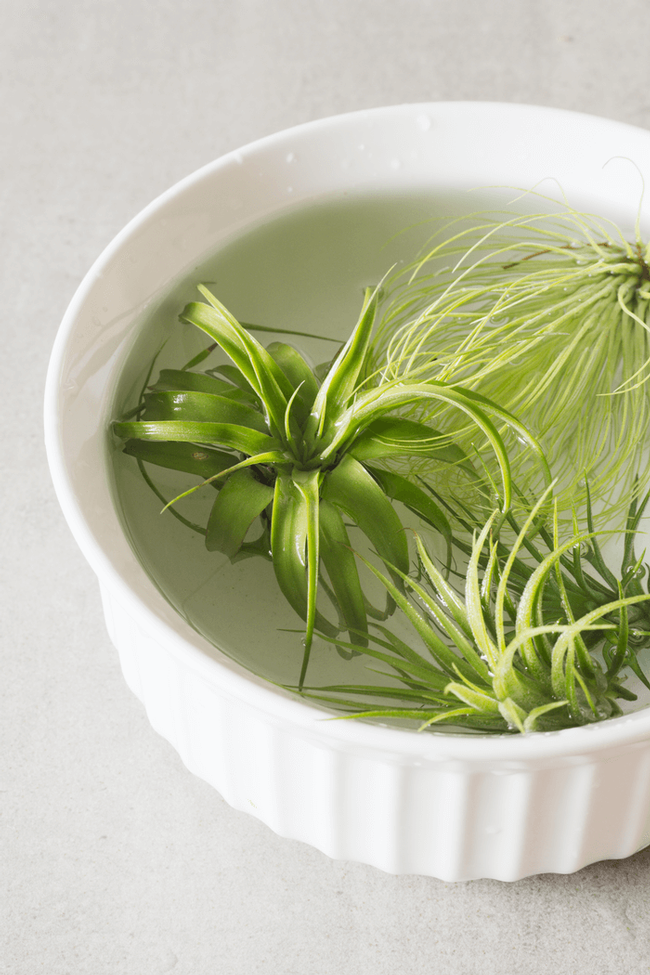How easy! Tillandsia in water (Plants and Beautiful Things)