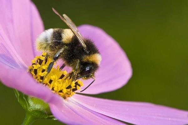 Bumblebee (Earth Ranger)