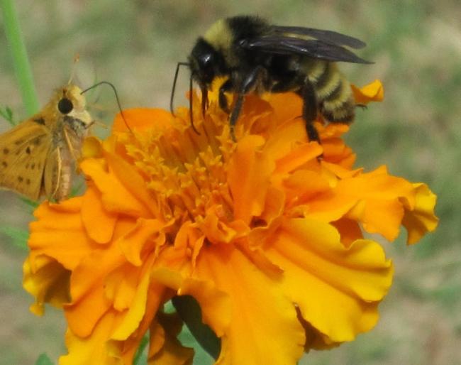 Marigold with butterfly and bee (Faith Family Farm)