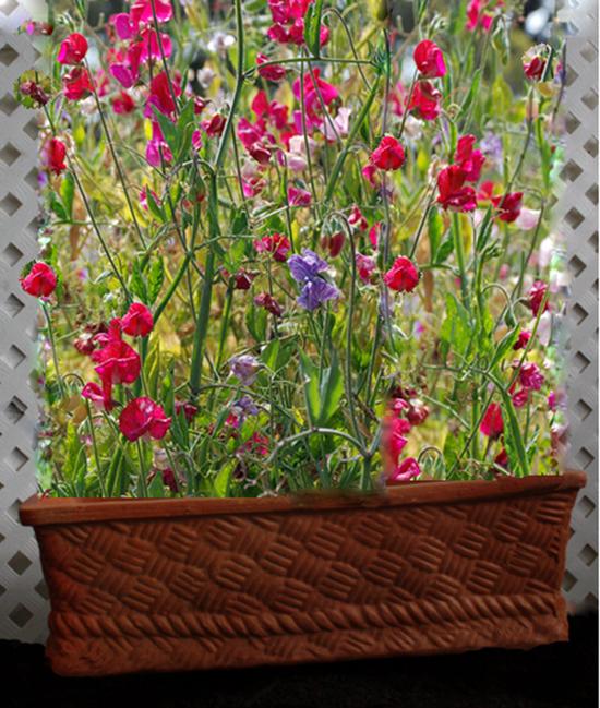 Planter pot with sweet peas (Sheila Zeller Interiors)
