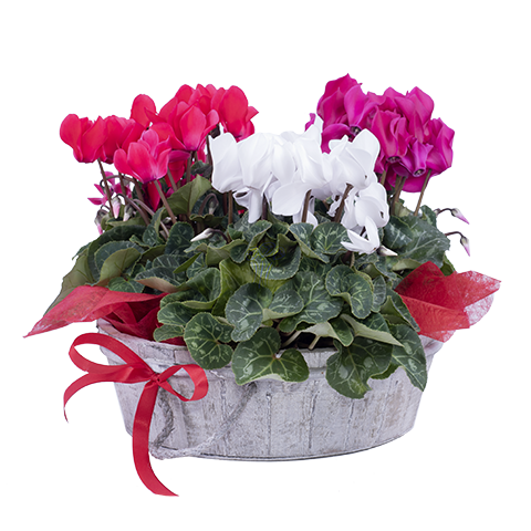 Red and white cyclamen (FloraQueen)