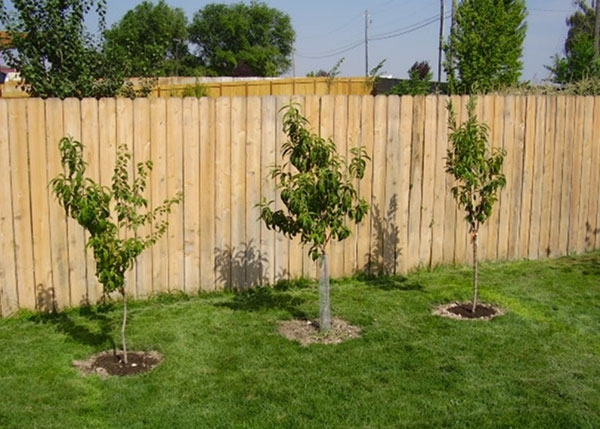 Young fruit trees