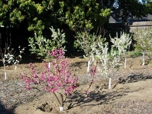 Young fruit trees in bloom (Evergreen Nursery)
