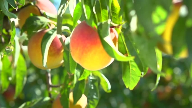 Fruit trees need full sun (Shutterstock)