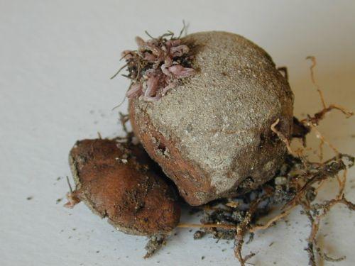 Cut tuber to propagate (gardenbuddies.com)