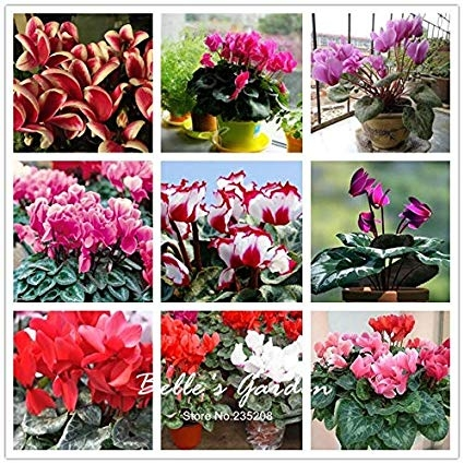Just some of the colors of cyclamen (Amazon.com)