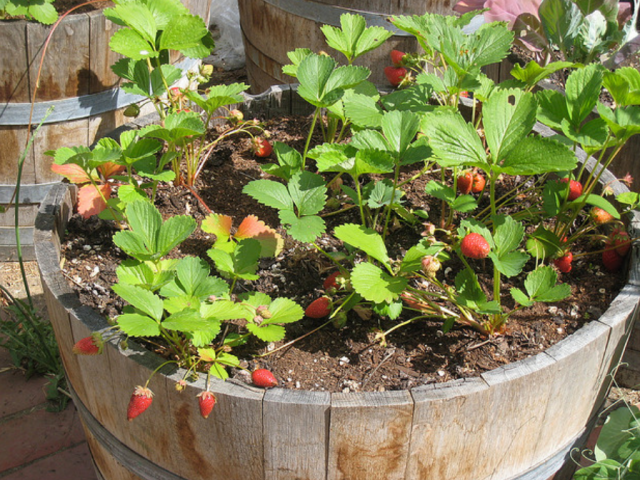Many kinds of strawberries and fairly easy to grow (ridgeviewgardencentre.com)