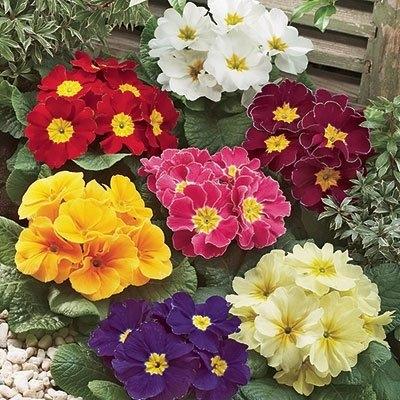 Primrose,  Primula vulgaris, (Direct Gardening)