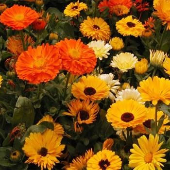 Pot marigold, Calendula, (Outsidepride.com)