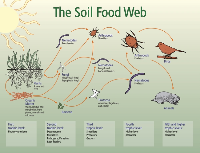 Soil Food Web--all this is going on! (NRCS)