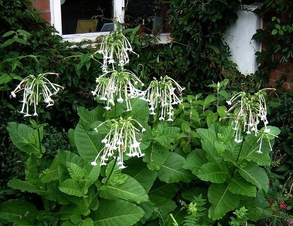 Nicotiana in garden (NCSU Plant Database-NC State University)