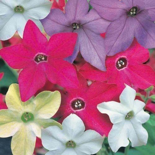 Nicotiana colors (Pinterest)