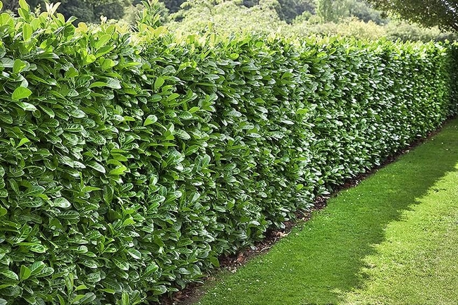 English laurel hedge (Instant Hedge)