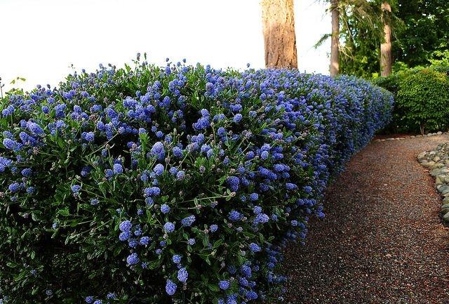 Ceanothus hedge (Pinterest)