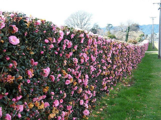 Camellia hedge (Pinterest)