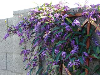 Lilac vine (Pinterest)