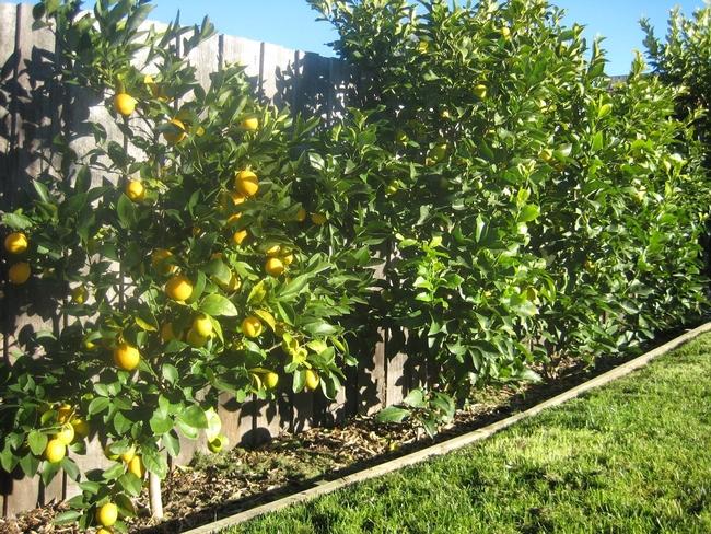 Citrus hedge (Pinterest)