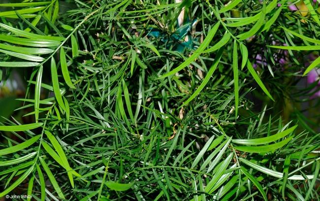 Fern pine, Afrocarpus gracilior (UC Berkeley)