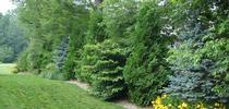 Plants for privacy hedges (Pinterest) for Napa Master Gardener Column Blog