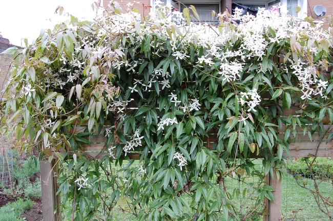 Evergreen vines on trellis (Pinterest)