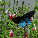 California pipevine swallowtail, Battus philenor  (Kathy Keatley Garvey)
