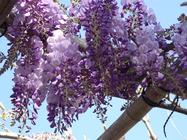 Blog, wisteria in bloom (Free-Images.com)
