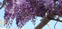 Blog, wisteria in bloom (Free-Images.com) for Napa Master Gardener Column Blog