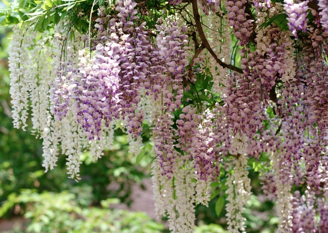 Wisteria sinensis, Chinese wisteria (Free-Images.com).jpg