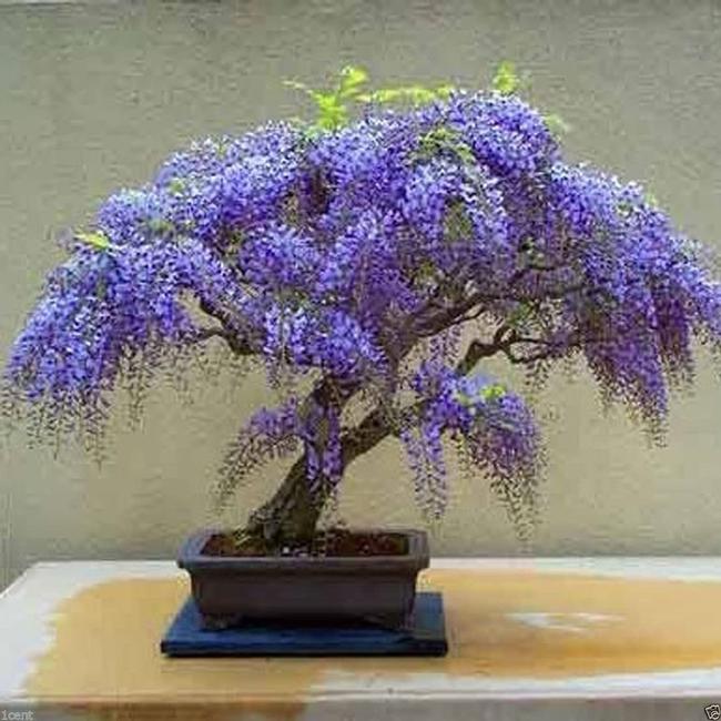 Wisteria, bonsai (Amazon.com)