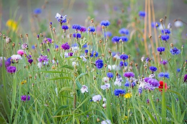 Summer (wild) flowers (Pixabay)