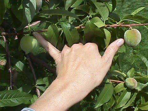 Thin stone fruit this far apart (YouTube)