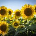 Sunflowers, (bonnie-kittle-unsplash)