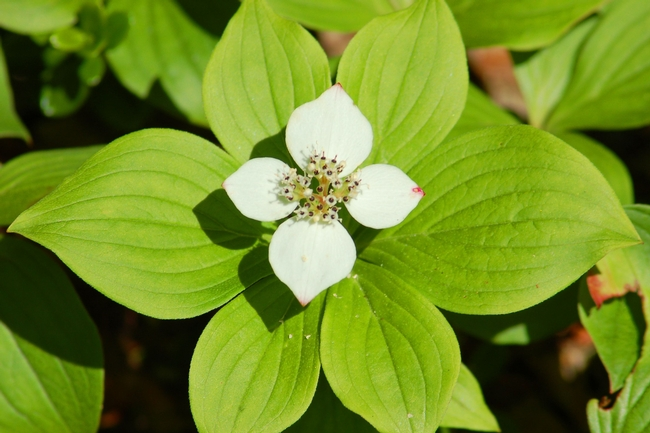 Bunchberry blossom closeup (The Spruce)