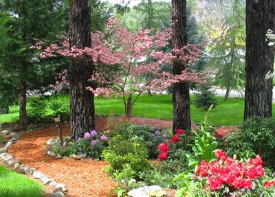 Pink dogwood(Trinity Nursery)