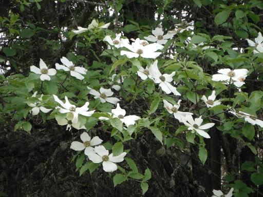 Western dogwood (Native Plants PNW)