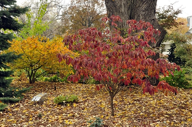 Great autumn color, dogwood (Garden A to Z)