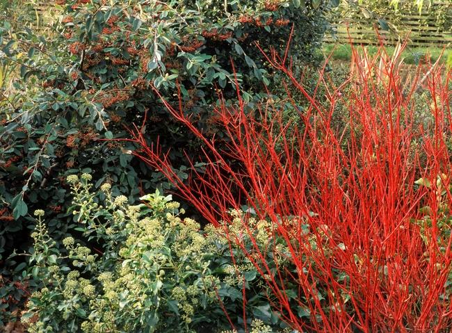 Red twig dogwood shrub (The Spruce)