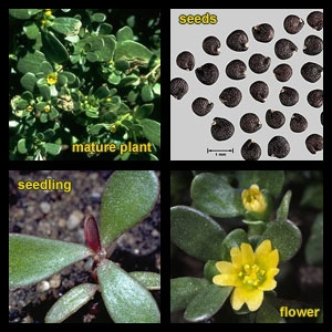 Purslane, an edible (UC IPM)