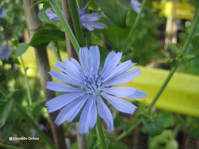 Wild chicory flower, deep strong roots (Oswaldo Ochoa, UC Davis)