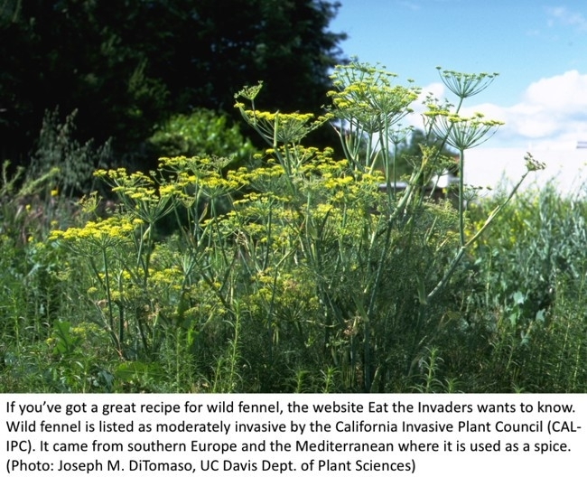 Fennel, more than an edible, also a pollinator attraction  (DiTomaso, UC Davis Dept of Plant Science)