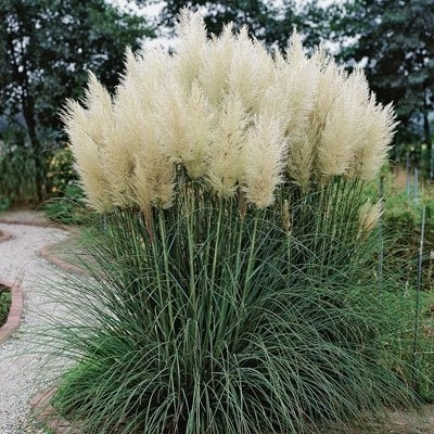 Pampas grass (Direct Gardening)