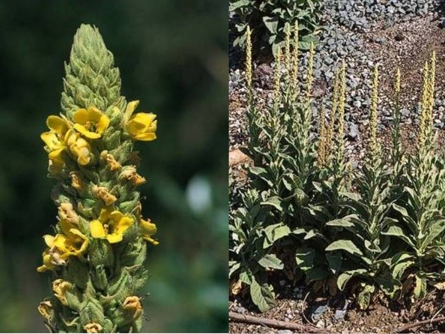 Mullein (California Invasive Plant Council)