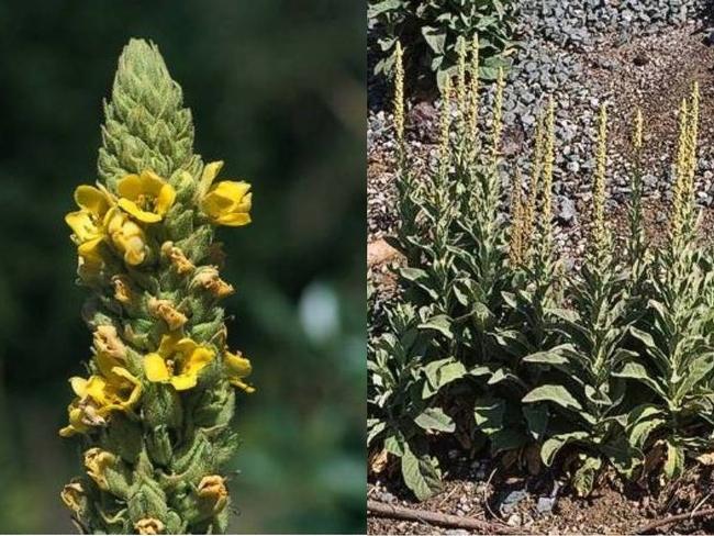 Mullein (California Invasive Plant Council)