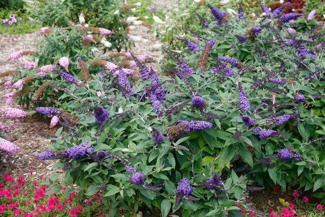 Butterfly bush (Monrovia)