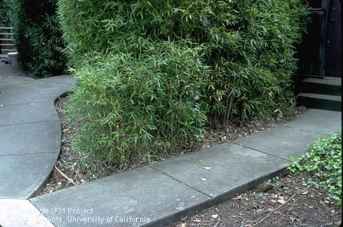 Bamboo (Jack Kelly Clark, UC IPM)