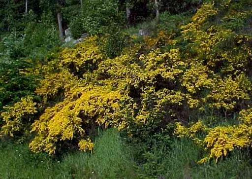 Scotch broom (UC ANR)