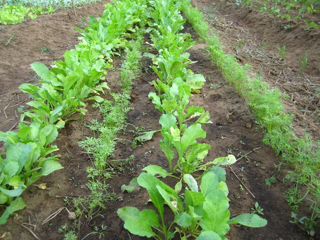 Radish and carrot interplanted (Flickr)