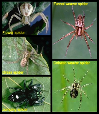 Spider good guys (UC IPM)