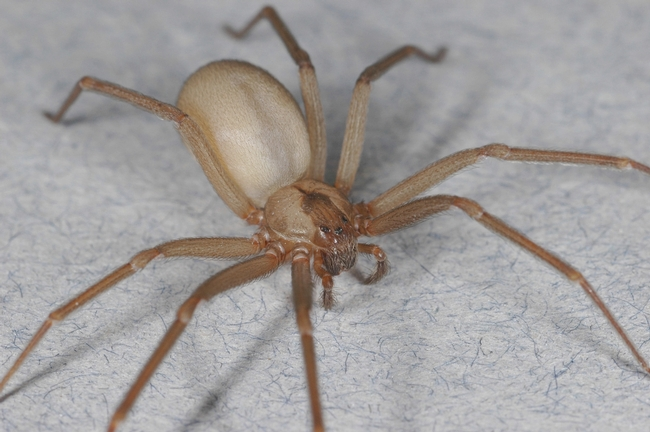 Brown recluse, NOT established in California! This is a big picture of a tiny spider, smaller than a penny, including legs.(UC ANR)